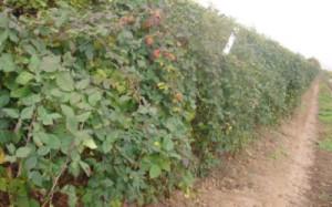 Живая изгородь из малины